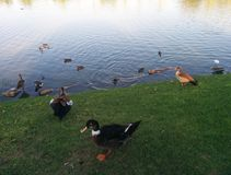 Family of ducks in a pond. royalty free stock photo