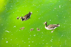 Family of ducks in pond. Mallard ducks and baby ducklings swimming in a pond Royalty Free Stock Photo