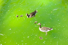Family of ducks in pond Royalty Free Stock Photography