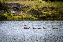 Family of ducks. On a river Royalty Free Stock Images