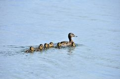Ducks. The family of ducks sail on the lake Stock Photography