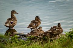 Ducks at the pond. Family of ducks on the shore of a pond in the middle of summer Stock Image