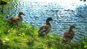 Ducks at the pond. A family of ducks standing on the shore of a pond in the middle of summer Stock Images