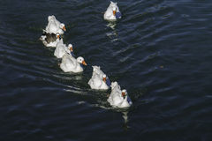 Family of ducks swimming in group. Group of ducks swimming together in a lake stock photography