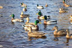 Family of ducks swimming in the pond stock images
