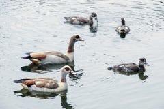 The family of ducks Stock Photos