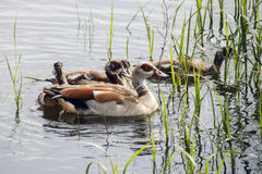 The family of ducks Stock Photo