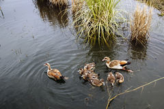 The family of ducks Royalty Free Stock Image
