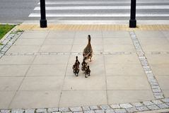Family of ducks walking a straight line in front Stock Photo