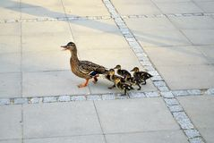 Family of ducks walking a straight line in front Royalty Free Stock Photography