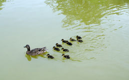 Family of ducks Stock Photography