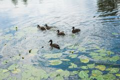 Family of ducks in the water Royalty Free Stock Photos