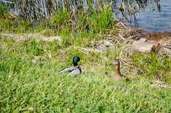 Family of ducks. A family of wild ducks live on the river bank Stock Photos