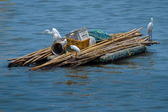 Family of Egret on a boat ride. This family of egrets is using makeshift bamboo raft for transportation Royalty Free Stock Photography