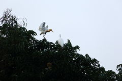 Family of egret Royalty Free Stock Images