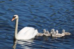 Swan Swimming with Cygnets. A family of eight young mute swan Cygnus olor cygnets swimming with the swan parent on a blue lake in Springtime. The cygnets are royalty free stock images
