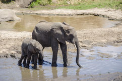 Family of elefants drinking Royalty Free Stock Photo