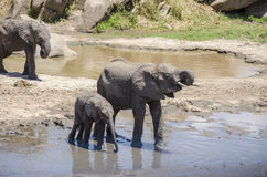Family of elefants drinking Stock Images