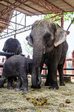 Family of elephant Royalty Free Stock Image