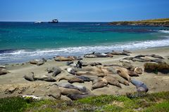 Family of Elephant Seals Sun Bathing on Beach Royalty Free Stock Photos