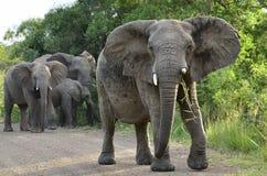 Family of Elephants. Elephant family at Hluhluwe-Umfolozi Game Reserve, South Africa Stock Photo