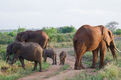 Family of elephants Stock Image