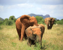 Family of elephants Royalty Free Stock Photo