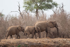 Family of elephants Royalty Free Stock Image