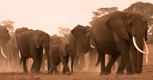 Family of elephants in amboseli Stock Image