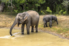 Family of elephants came to drink Stock Image