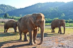Family of elephants covered by mud walking towards the swamps. In national park Royalty Free Stock Photos