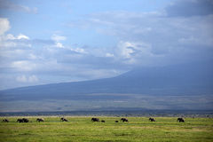 Family of elephants crosses the savannah Stock Image