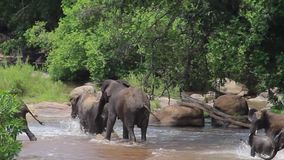 A family of elephants with cubs socializing by the river