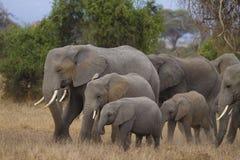 Family of elephants of different sizes. African bush elephants (Loxodonta africana), Amboseli National Park, Kenya royalty free stock photos