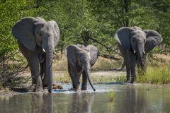 Family of elephants drinking at water hole Stock Photography