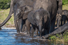 Family of elephants drinking water in shallows Stock Photography