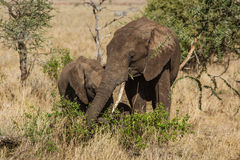 Family of elephants eating Royalty Free Stock Image