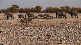Family. Elephants in the Etosha National Park, Namibia Royalty Free Stock Photos