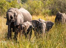 Family of elephants feeding and drinking as they move through Ok Stock Photos