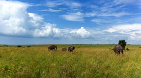 Family of elephants goes on a safari in a high grass elephant family royalty free stock image