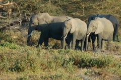 Family of elephants Royalty Free Stock Photos