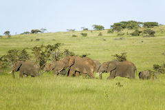 Family of elephants in green grass of Lewa Wildlife Conservancy, North Kenya, Africa Royalty Free Stock Image