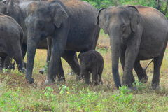 Family of elephants. Group of elephants with a 1-month old baby in Udawalawe national park (Sri Lanka stock images