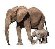 Family of elephants isolated Royalty Free Stock Images