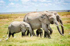 Family of Elephants in Kenya, Africa Royalty Free Stock Photo