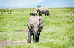 Family of Elephants in Kenya, Africa Stock Image