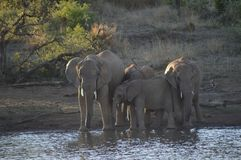 A family of Elephants in Kruger National Park drinking water from a dam royalty free stock photos