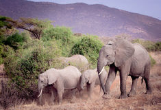Family of elephants Royalty Free Stock Photos