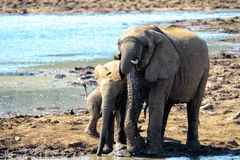 A family of elephants Royalty Free Stock Photos