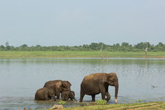 Family of elephants passing river ford Stock Photography